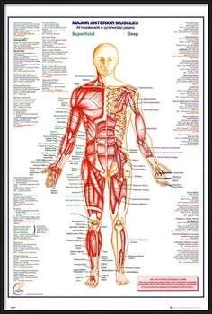 Pôster emoldurado Human Body - Major Anterior Muscles