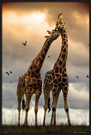 Poster  Giraffes - kissing