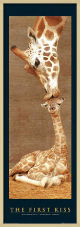 Poster  The first kiss - giraffes