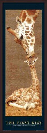 Poster  The first kiss - giraffes