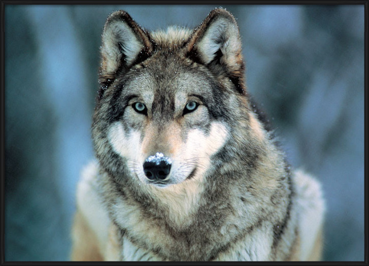 Poster  Grey wolf